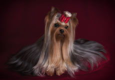 Cute Yorkshire terrier with long coat on red background Royalty Free Stock Photography