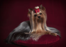 Cute Yorkshire terrier with long coat on red background Royalty Free Stock Photo