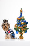Cute Yorkshire terrier near Christmas tree Stock Photo