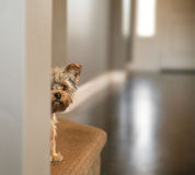 A cute yorkshire terrier peeking from around a wall toned with a Stock Photos