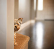 A cute yorkshire terrier peeking from around a wall Royalty Free Stock Image
