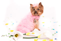Cute yorkshire terrier in pink fur costume Stock Photos