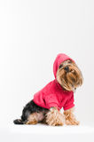Cute Yorkshire terrier in pink pullover Stock Image