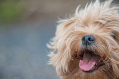 Cute yorkshire terrier portrait outside on a windy day stock photo