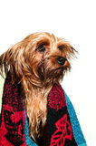 Cute yorkshire terrier portrait Royalty Free Stock Photography