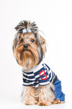 Cute Yorkshire terrier in pullover Royalty Free Stock Images