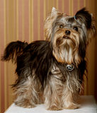 Cute Yorkshire Terrier Puppy Royalty Free Stock Photography