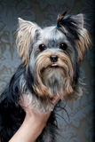 Cute Yorkshire Terrier Puppy Royalty Free Stock Image