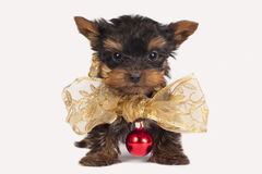 Cute Yorkshire terrier puppy. Royalty Free Stock Photo