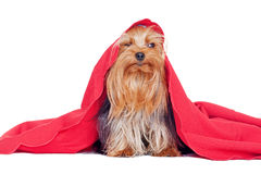 Cute yorkshire terrier puppy Royalty Free Stock Images