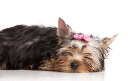 Cute yorkshire terrier puppy asleep Royalty Free Stock Images
