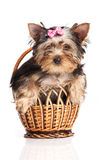 Cute yorkshire terrier puppy in a basket Stock Photos