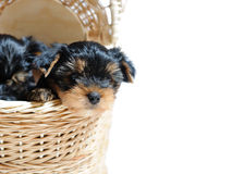 Cute Yorkshire Terrier Puppy Dog Sitting In A Box Stock Photo