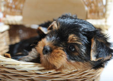 Cute Yorkshire Terrier Puppy Dog Sitting In A Box Stock Photos