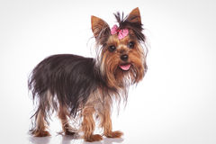 Cute yorkshire terrier puppy dog standing Stock Photos