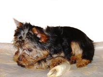 Cute Yorkshire terrier puppy isolated. Beautiful backgrounds. Sweden stock image