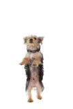 Cute yorkshire terrier puppy rearing up Royalty Free Stock Images