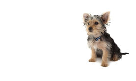 Cute yorkshire terrier puppy sitting Stock Images
