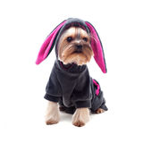 Cute yorkshire terrier in rabbit suit Stock Photography