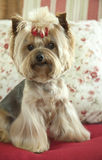 Cute Yorkshire Terrier Sits on Couch with Pillows Stock Image