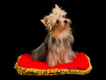 Cute Yorkshire Terrier sitting Royalty Free Stock Photos
