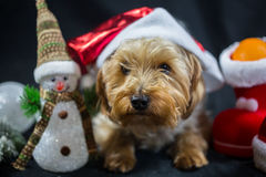 Cute Yorkshire Terrier with snowman Royalty Free Stock Image