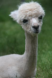 Cute Young Alpaca with big eyes and a sweet smile Royalty Free Stock Image