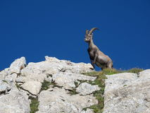 Cute young alpine ibex standing on a rock Royalty Free Stock Photo