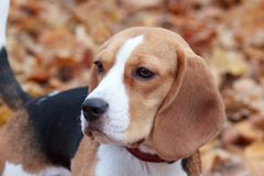 Cute young beagle close up. royalty free stock image