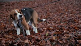 Cute young beagle dog gnaw wooden stick, sit at leaves field stock video footage