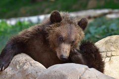 Cute young bear-Ursus arctos beringianus. Around 6 month old cute baby bear-Ursus arctos beringianus Royalty Free Stock Photo