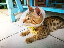 Cute young bengal cat with a collar preventing him from licking on a wound. A Cute young bengal cat with a collar preventing him from licking on a wound royalty free stock image