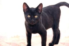 Cute young black cat. Royalty Free Stock Photos