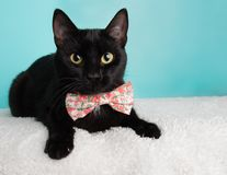 Free Cute Young Black Cat Wearing Pink And White Flowers Bow Tie Costume Portrait Lying Down Looking Right Stock Image - 155347821