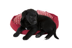Cute young black lab puppy dog Royalty Free Stock Image