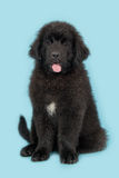 Cute young black new foundland dog on a blue background. Cute young black new foundland dog facing the camera with tongue out of its mouth sitting on a blue royalty free stock images