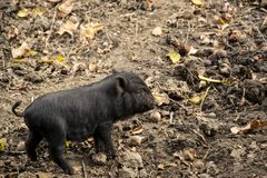 Cute young, black Vietnamese Pot-bellied pig. Running on the farm royalty free stock photography