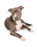Cute Young Blue Pit Bull Dog Stock Images