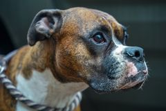 Portrait of a boxer royalty free stock photography