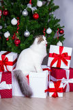 Cute young british cat with christmas tree and gifts Royalty Free Stock Photography