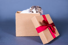 Cute young british cat hiding in gift box over grey Royalty Free Stock Photography