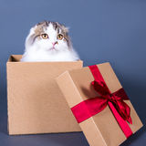 Cute young british cat sitting in gift box over grey Stock Photos