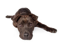 Cute Young Brown Labrador Crossbreed Laying Stock Photography