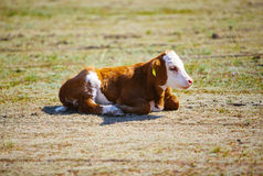 Cute young brown and white calf Royalty Free Stock Image