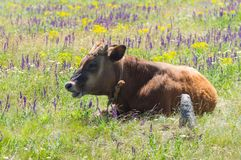 Cute young bull-calf resting while chained on summer meadow Royalty Free Stock Photo