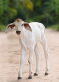 Cute, young calf with big ears Stock Photos