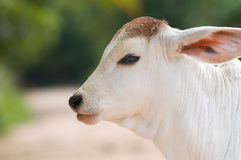Cute, young calf with big ears Stock Photography