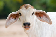 Cute, young calf with big ears royalty free stock images