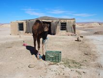 Cute young camel and moroccan cottage in village on Sahara desert landscape in central Morocco Royalty Free Stock Photo