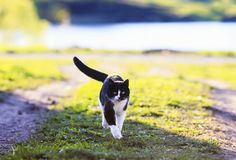 young cat walking on a green meadow on a spring Sunny day funny tongue sticking out stock photos